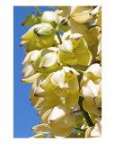 Yucca Flower