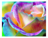 Artful Colorful Rose