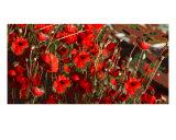 Poppylar