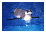 Baby Humbolt Penguin-2