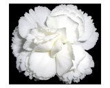 White Carnation Flower Black Background