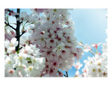 Cherry Blossom Glow