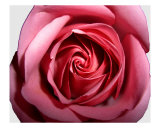 Red Rose H