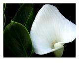White Calla Lily Close Up