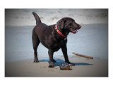 Chocolate Lab at the Beach