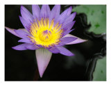 Waterliliy In A Pond