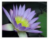 Waterlily Flower