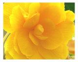 Yellow Rose Detail