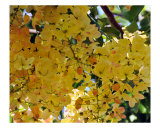 Hawaiian Gold Shower Tree