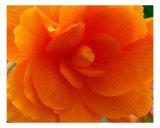 Orange Rose Blossom Detail