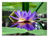 Water Lily In Pond II