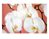 Hawaiian Orchids Number One