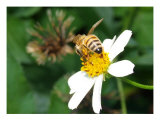 Bee On White Wildflower