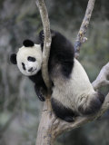 Subadult Giant Panda Climbing in a Tree Wolong Nature Reserve  China