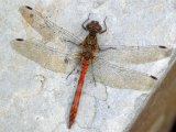 Common Darter Dragonfly Cornwall  UK