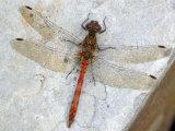 Common Darter Dragonfly Cornwall, UK Papier Photo par Ross Hoddinott