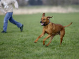 Rhodesian Ridgeback Running in a Field