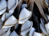 Common Goose Barnacles  Sandymouth Bay  Cornwall  UK