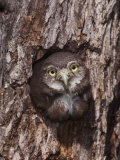 Ferruginous Pygmy-Owl Young Looking Out of Nest Hole  Rio Grande Valley  Texas  USA