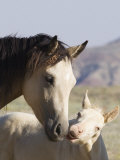 Wild Horse Mustang  Cremello Colt Nibbling at Yearling Filly  Mccullough Peaks  Wyoming  USA