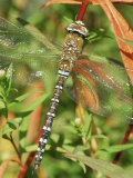 Southern Hawker Dragonfly Broxwater  Cornwall  UK