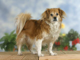 Domestic Dog  Mixed Breed Dog