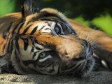 Sumatran Tiger Resting Captive  Iucn Red List of Endangered Species
