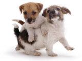 Two Jack Russell Terrier Pups Playing