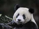 Male Giant Panda Wolong Nature Reserve  China