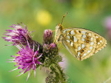 High Brown Fritillary Butterfly on Thistle  UK