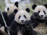 Three Subadult Giant Pandas Feeding on Bamboo  Wolong Nature Reserve  China