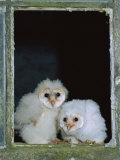 Barn Owl Chicks in Window Cornwall  UK