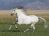 Grey Andalusian Stallion Running in Field  Longmont  Colorado  USA