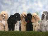 Seven Miniature Poodles of Different Coat Colours to Show Coat Colour Variation Within the Breed