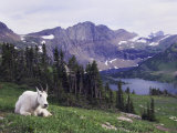 Mountain Goat Adult with Summer Coat  Hidden Lake  Glacier National Park  Montana  Usa  July 2007