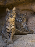 Two American Bobcats Resting in Cave Arizona  USA