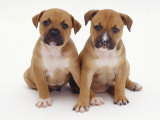 Two Red Staffordshire Bull Terrier Puppies  6 Weeks Old  Sitting Together