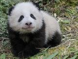 Giant Panda Baby Aged 5 Months  Wolong Nature Reserve  China