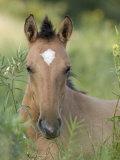 Wild Horse Mustang  Dun Filly Lying Down  Pryor Mountains  Montana  USA