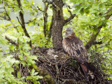 Red Kite Standing on Edge of Nest with Eggs  Wales  UK