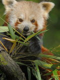 Red Panda Feeding on Bamboo Leaves  Iucn Red List of Endangered Species