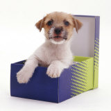 Jack in a Box - Jack Russell Terrier Pup in a Shoe Box