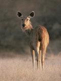 Indian Sambar Deer Ranthambore Np  Rajasthan  India