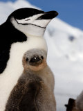 Adult and Juvenile Chinstrap Penguins  Half Moon Bay  Antarctica  January 2007
