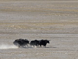 Herd of Wild Yaks Running across the Chang Tang Nature Reserve of Central Tibet., December 2006 Papier Photo par George Chan