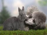 Silver Miniature Poodle Sniffing a Blue Dwarf Rabbit