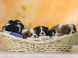 Domestic Dogs  Five Cavalier King Charles Spaniel Puppies  7 Weeks Old  Sleeping in Basket