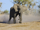 African Elephant Charging  Chobe National Park  Botswana