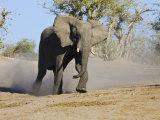 African Elephant Charging  Chobe National Park  Botswana