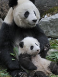 Giant Panda Mother and Baby  Wolong Nature Reserve  China